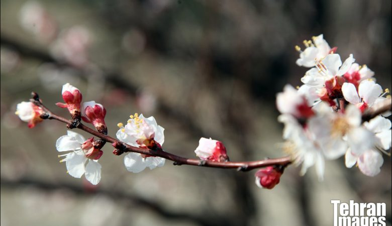 رویش شکوفه های بهاری در بوستان جنگلی چیتگر
